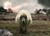 Owca Bojowa - zdjęcie
